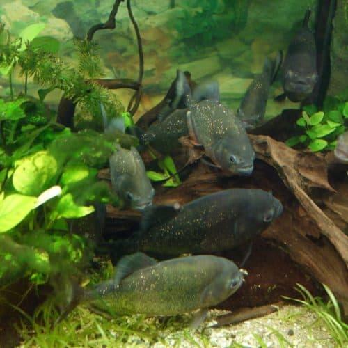 Piranhas-Aquarium im Reptilienzoo Happ - Sehenswürdigkeiten in Klagenfurt am Wörthersee, Österreich
