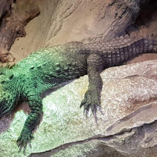 Krokodil im Kärntner Reptilienzoo Happ in Klagenfurt am Wörthersee