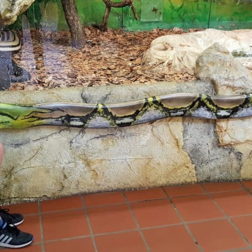 Kind beobachtet Riesenschlangen bei Familienausflug in Kärnten Klagenfurt - Reptilienzoo Happ