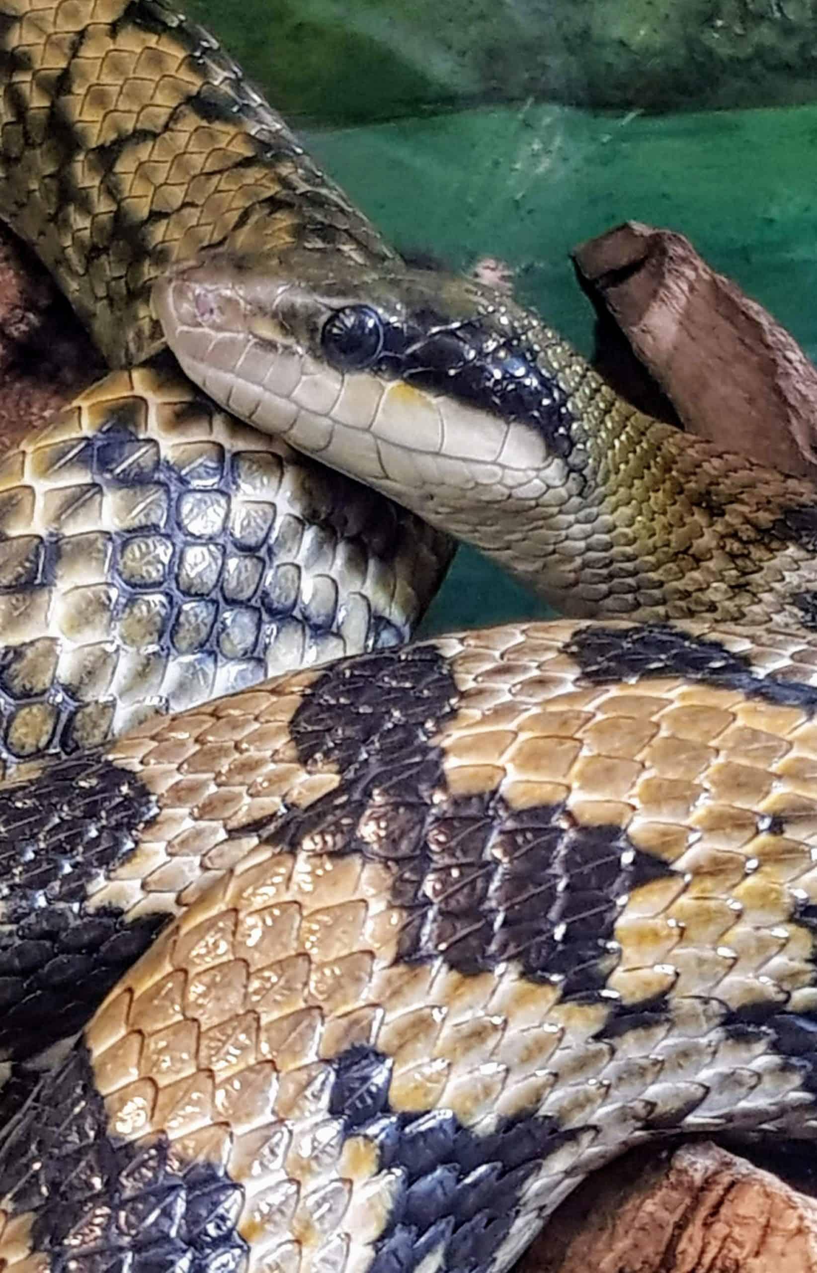 Schlange im Reptilienzoo Happ - Kärnten