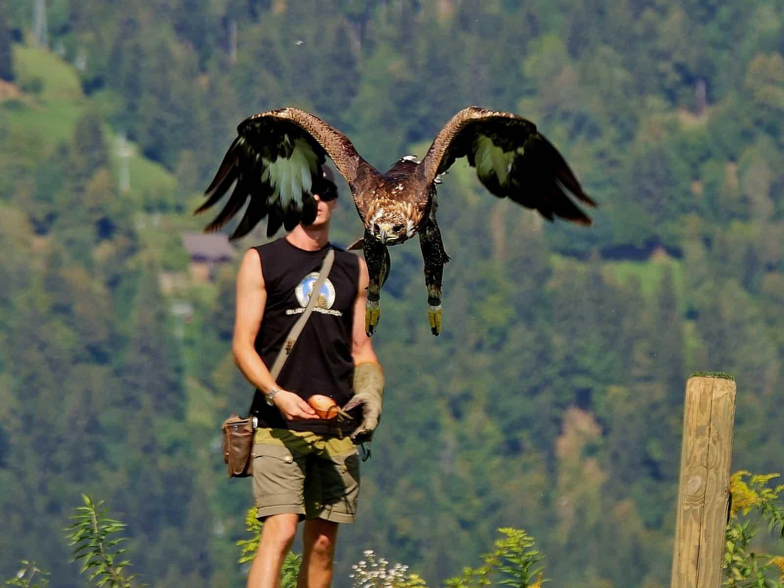 Adler bei Flugshow auf Burg Landskron in Adlerarena - Greifvogelschau Nähe Villach bei Affenberg