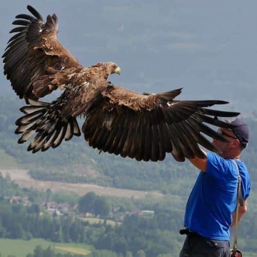 Greifvogel Flugschau in Landskron bei Affenberg in Kärnten - Ausflugsziele in Villach