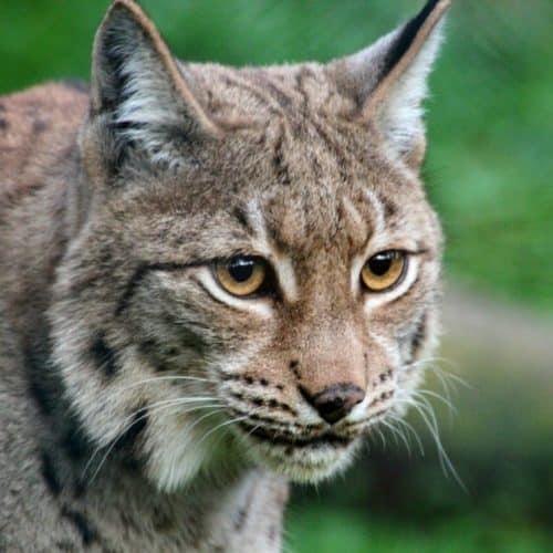 Luchs - Tierpark Kärnten Ausflugsziel Rosegg