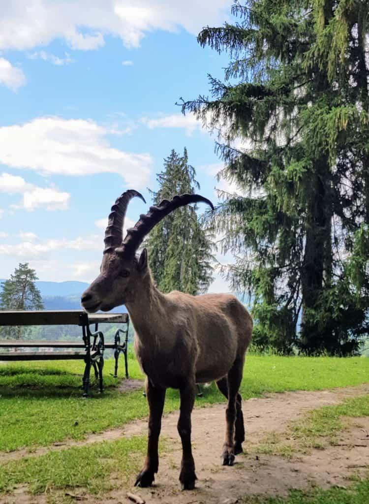 Steinbock im Wildtierpark Rosegg - geöffnetes Ausflugsziel in Kärnten