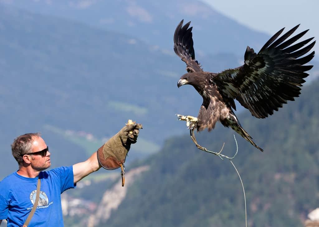 Steinadler mit Falkner bei Flugschau auf Adlerarena Landskron