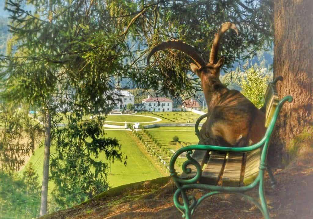 Steinbock im Tierpark Rosegg mit Blick auf Schloss. Ausflugsziele im Rosental