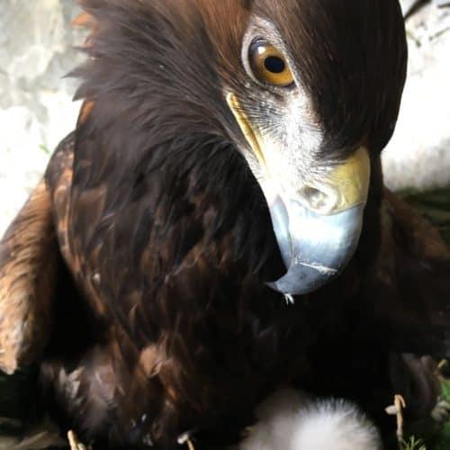 Adler mit Küken auf der Adlerarena Burg Landskron - Ausflugstipp für Familien mit Kindern in der Region Villach Ossiacher See in Kärnten