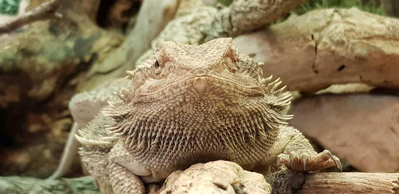 Eidechse für Reptilien- & Tierpatenschaften im Reptilienzoo Happ. Zoo in Österreich, Kärnten am Wörthersee