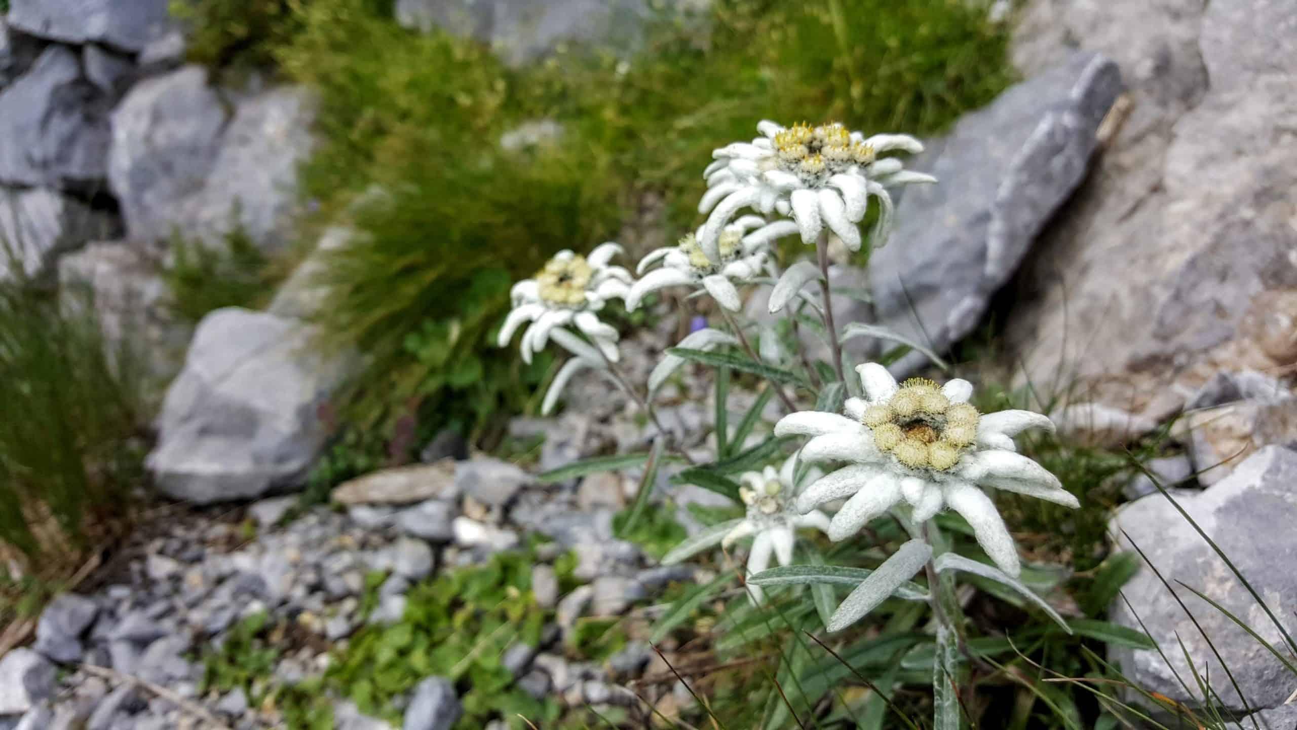 Edelweiß im Nationalpark Hohe Tauern Kärnten. Wandern, Natur & Urlaub in Österreich.