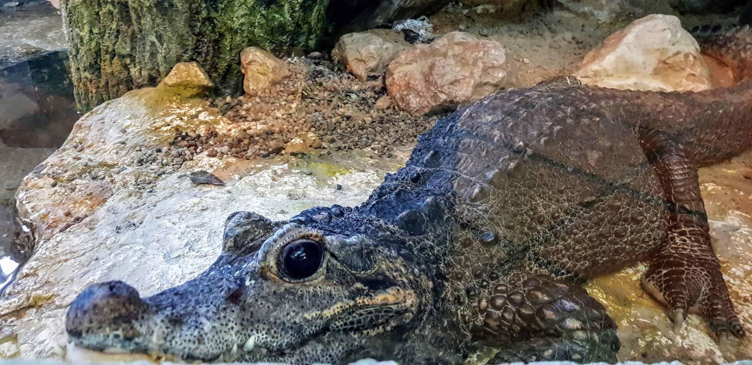 Krokodil - Reptilien im Reptilienzoo Happ in Kärnten