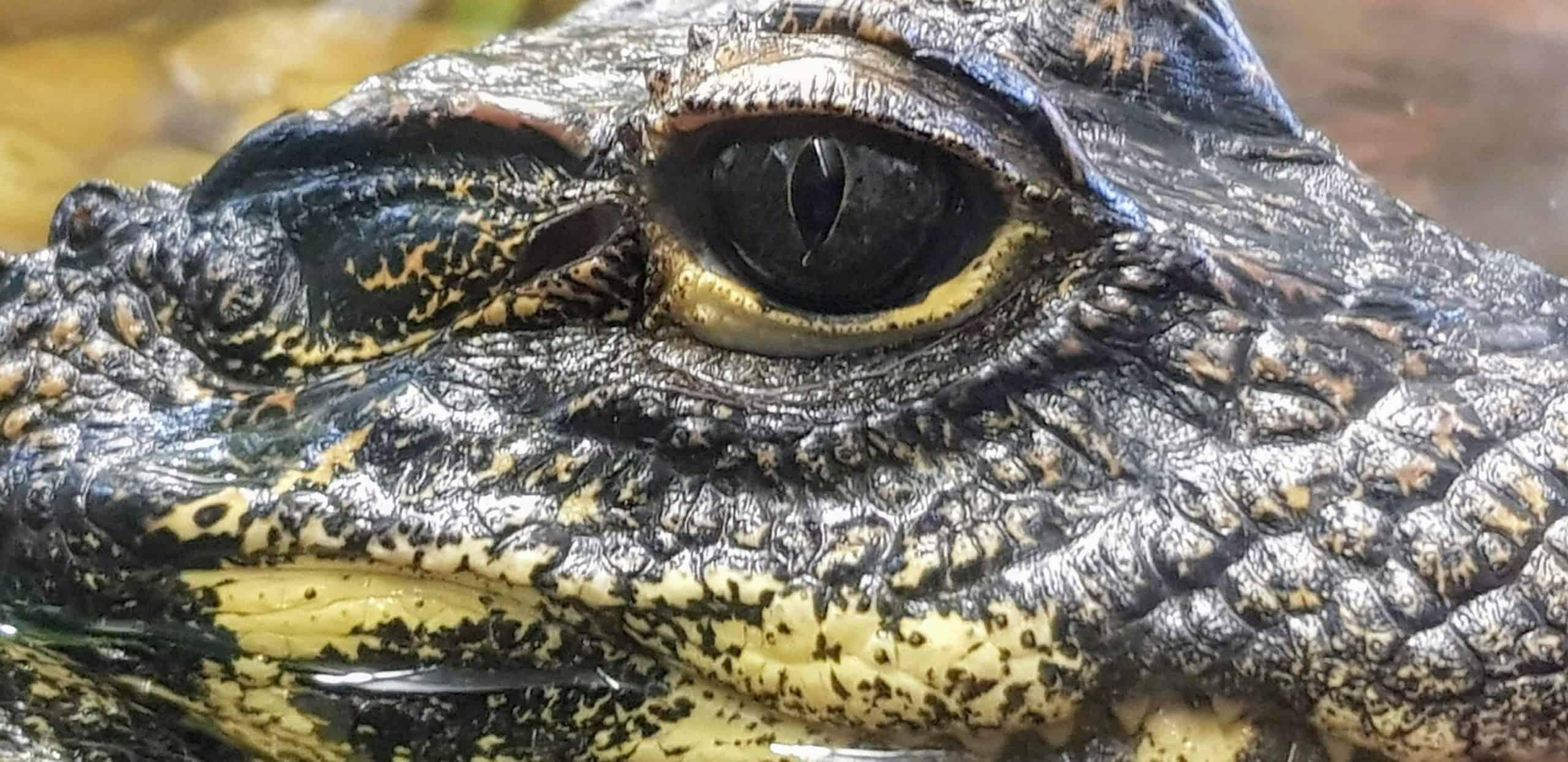 Krokodil im Ausflugsziel Reptilienzoo Happ in Klagenfurt am Wörthersee in Kärnten - Nahaufnahme Auge