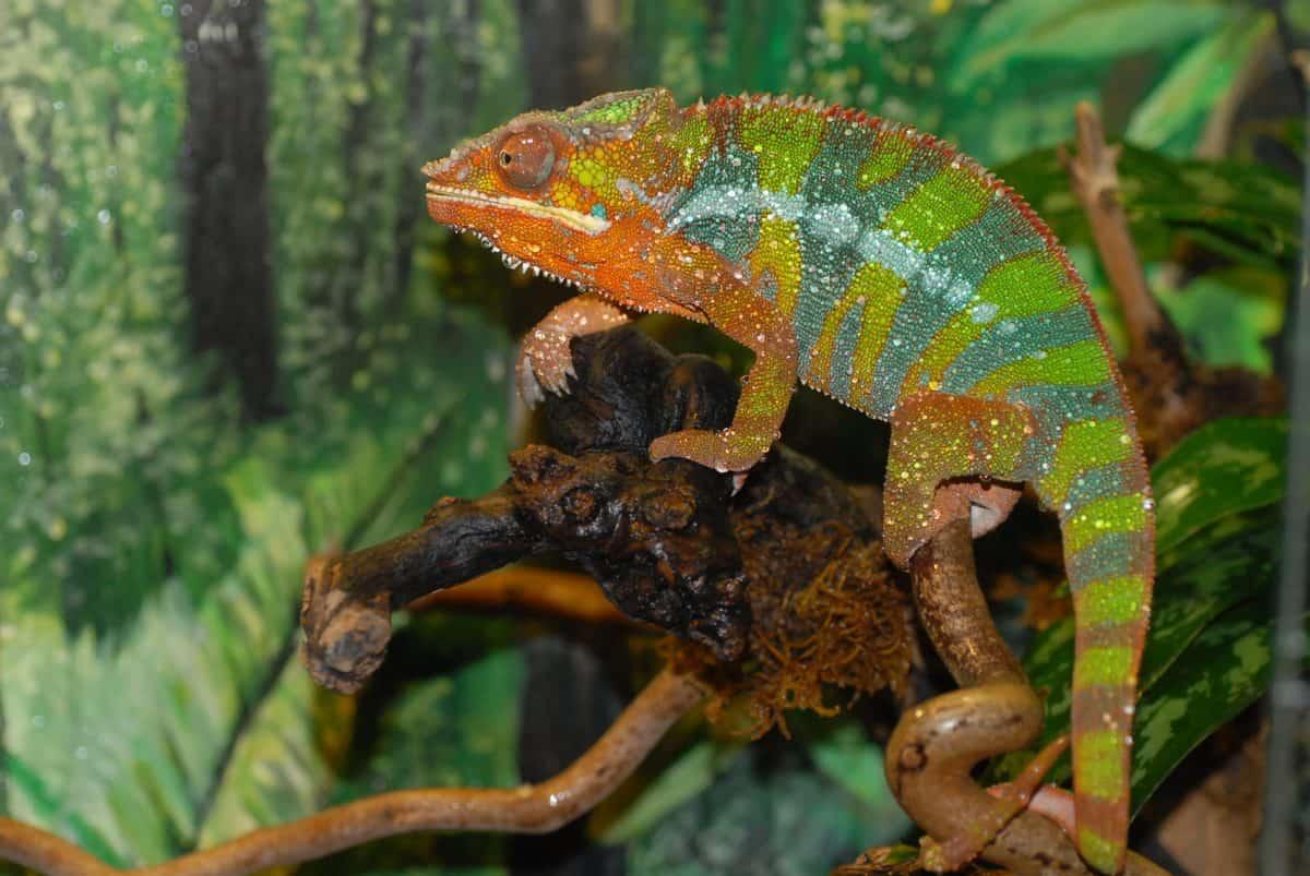 Panterchamäleon für Tierpatenschaften Reptilien im Zoo Happ Klagenfurt