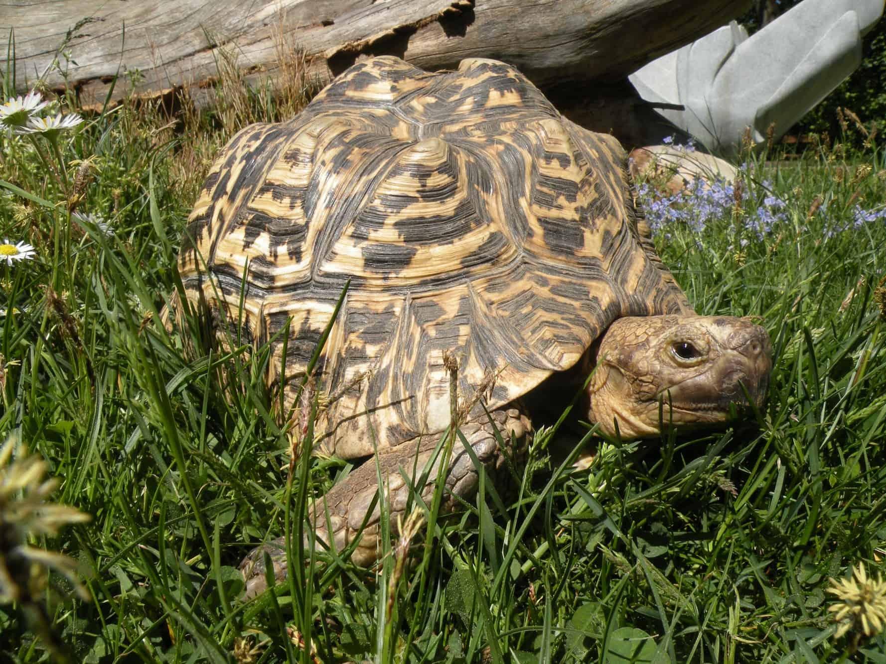 Pantherschildkröte im Reptilienzoo Happ in Österreich. Schildkröten-Patenschaften möglich. Ausflugsziel in Kärnten.