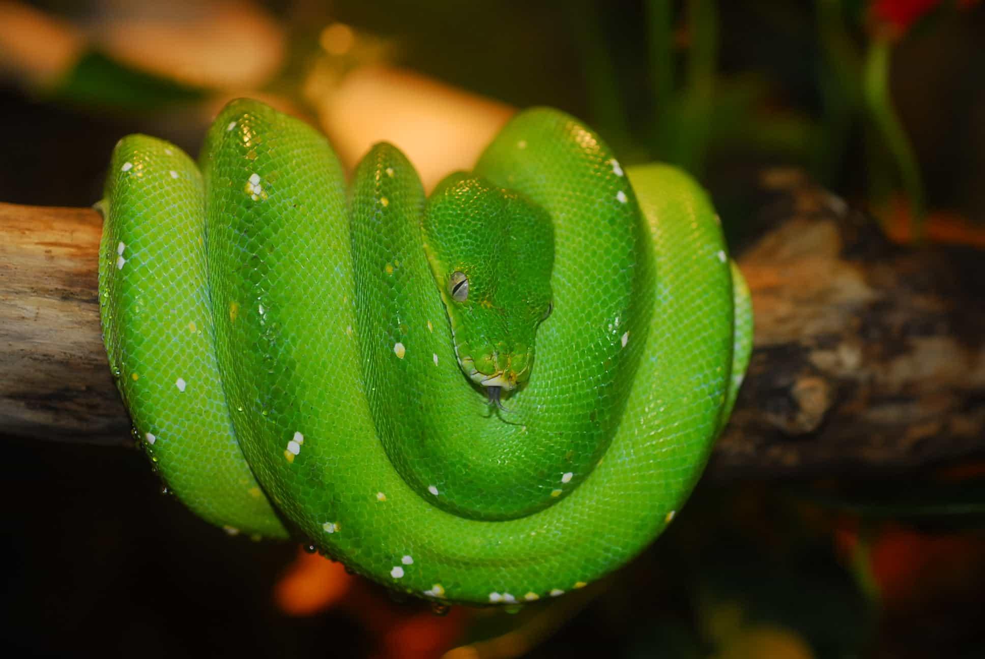 Schlangen für Tierpatenschaften im Reptilienzoo Happ in Österreich