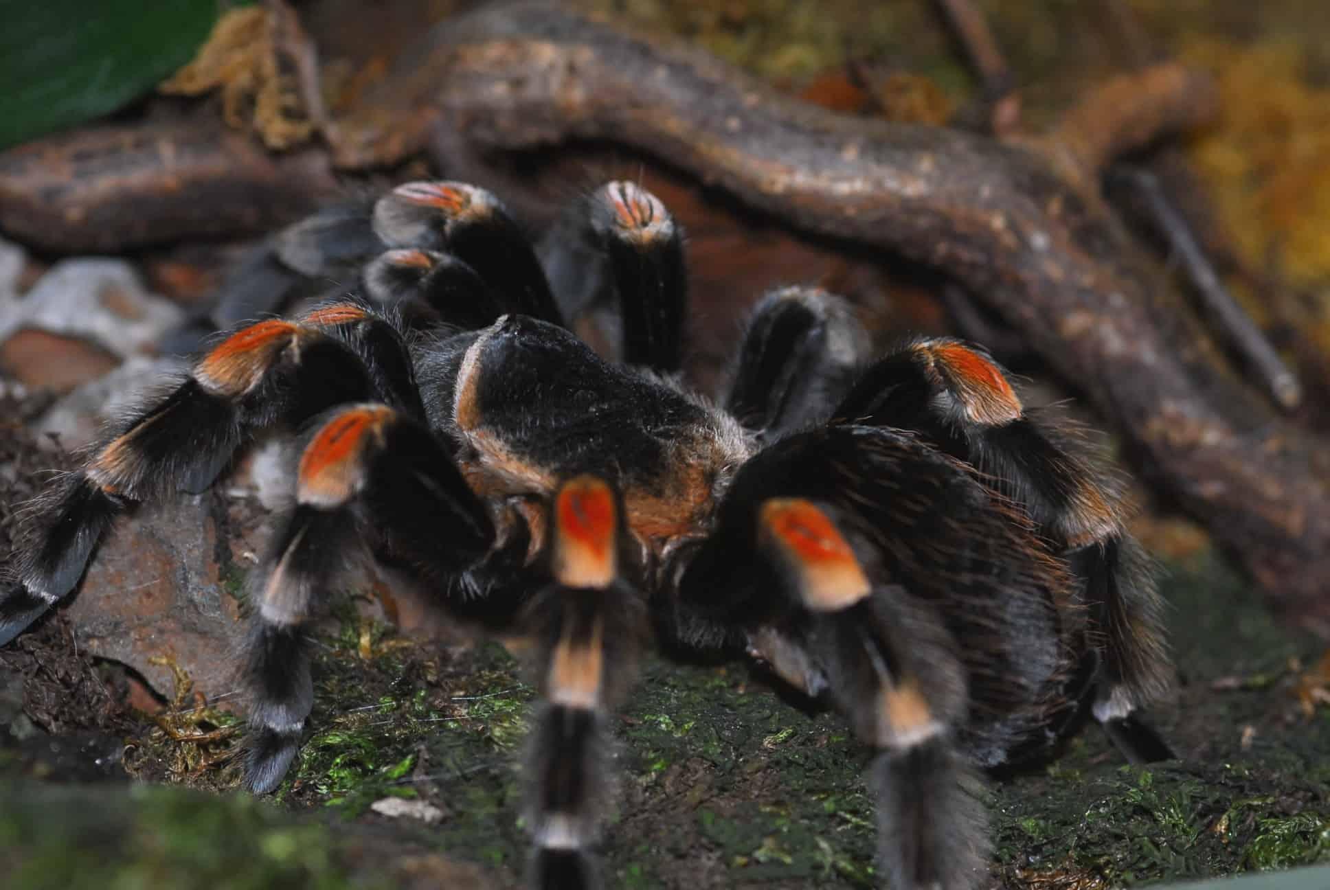 Vogelspinne im Reptilienzoo Happ in Klagenfurt - ganzjährig geöffnet - Patenschaften für Tiere möglich