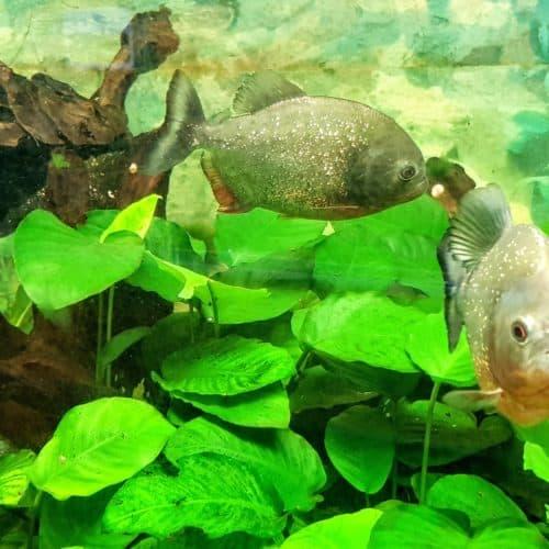 Piranhas Aquarium im Reptilienzoo Happ - Zoo in Österreich