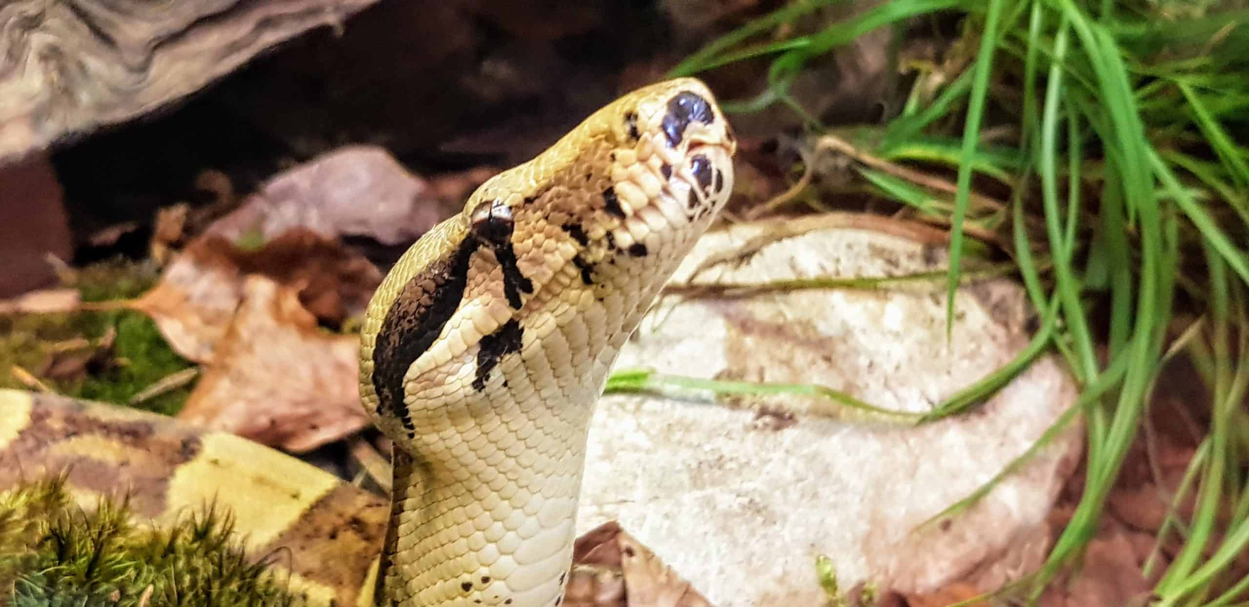 Schlange für Tier-Patenschaften im Reptilienzoo Happ in Klagenfurt. Sehenswürdigkeit in Kärnten - Österreich