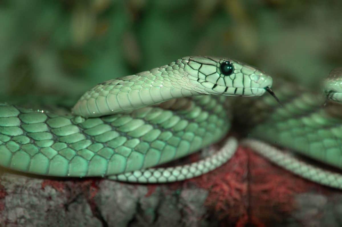 Schlange im Reptilienzoo Happ für Reptilien-Patenschaften in Kärnten
