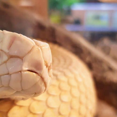 Albino Texas Klapperschlange im Reptilienzoo Happ. Tierpatenschaften möglich. Ausflugsziel in Österreich