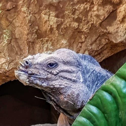 Reptilien im Reptilienzoo Happ in Klagenfurt. Tierpatenschaften für Eidechsen möglich.