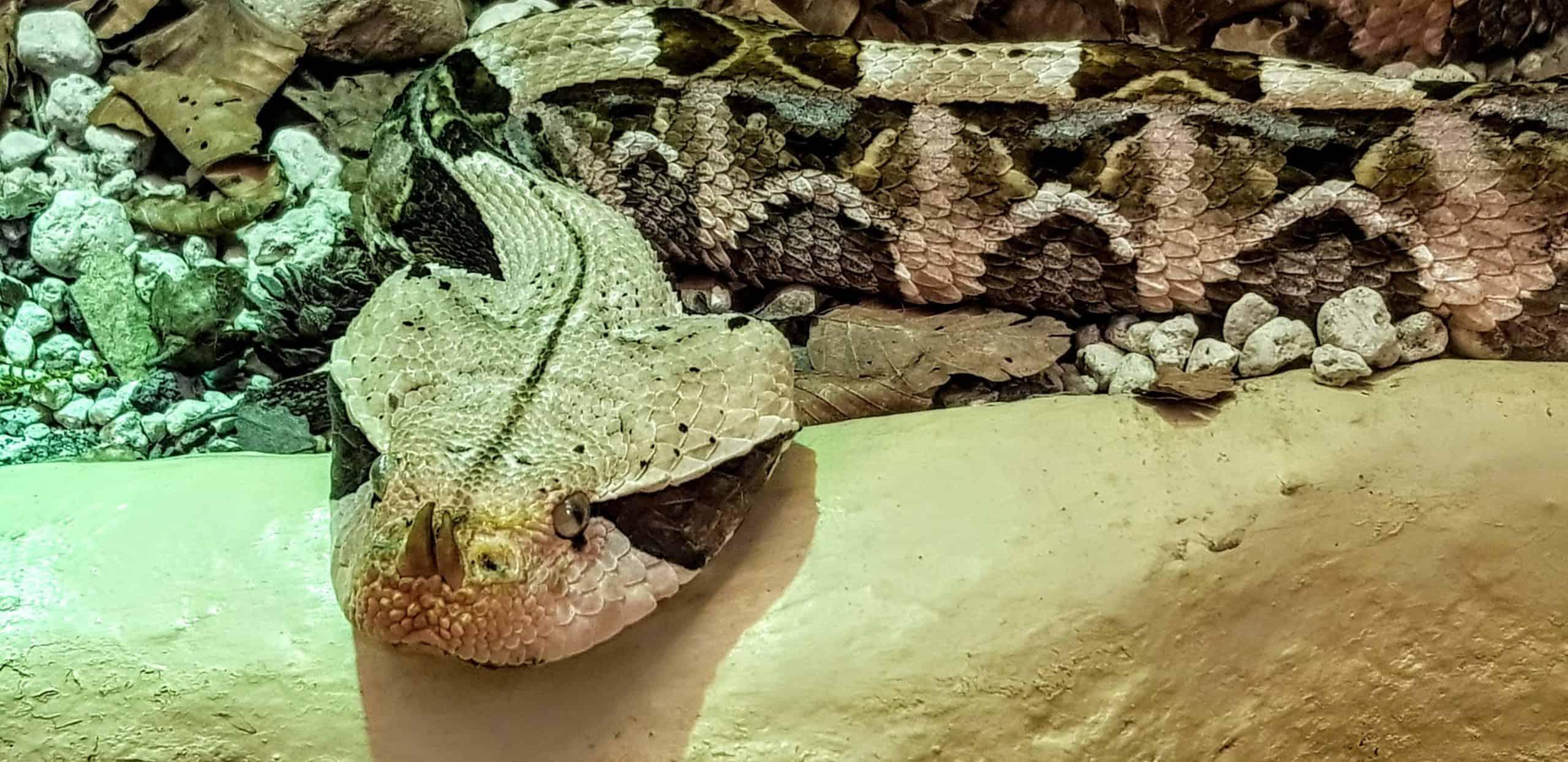 Giftschlangen im Reptilienzoo Happ am Wörthersee in Österreich. Tier-Patenschaften möglich.