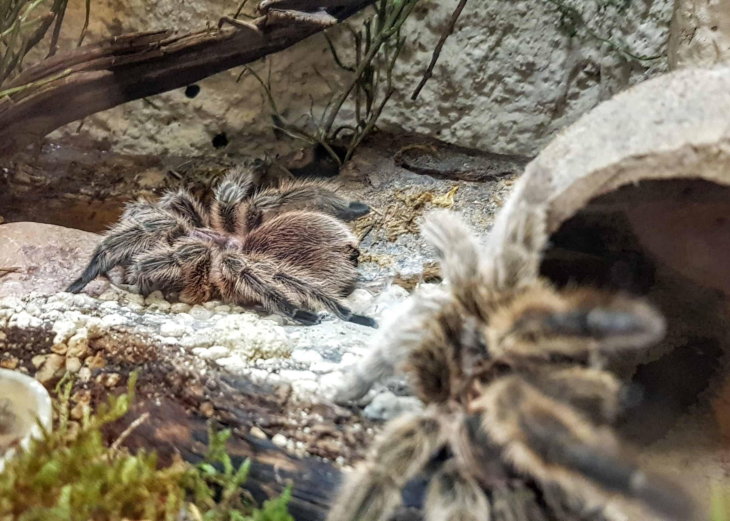 Vogelspinnen im Reptilienzoo Happ. Patenschaften für Spinnen und Reptilien möglich. Ausflugsziel in Kärnten am Wörthersee