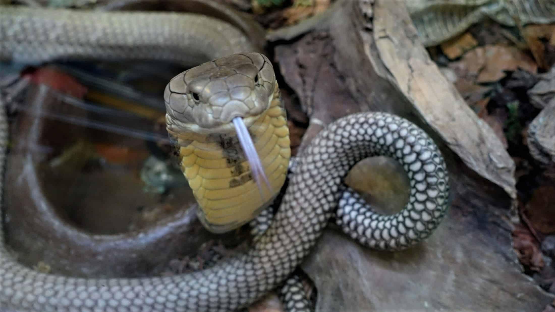 Kobra im Reptilienzoo Happ - artenreichster Zoo mit Reptilien in Österreich - auch im Winter geöffnet