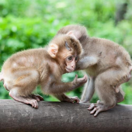 Affen im Ausflugsziel Abenteuer Affenberg bei Villach in Kärnten