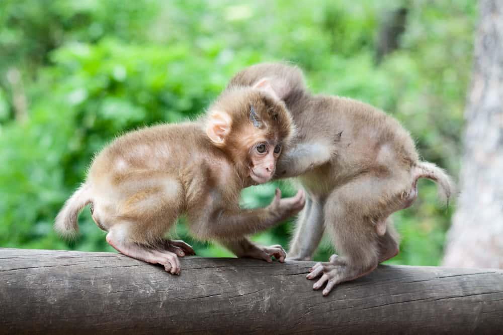 Affen im Zoo Affenberg Landskron bei Villach