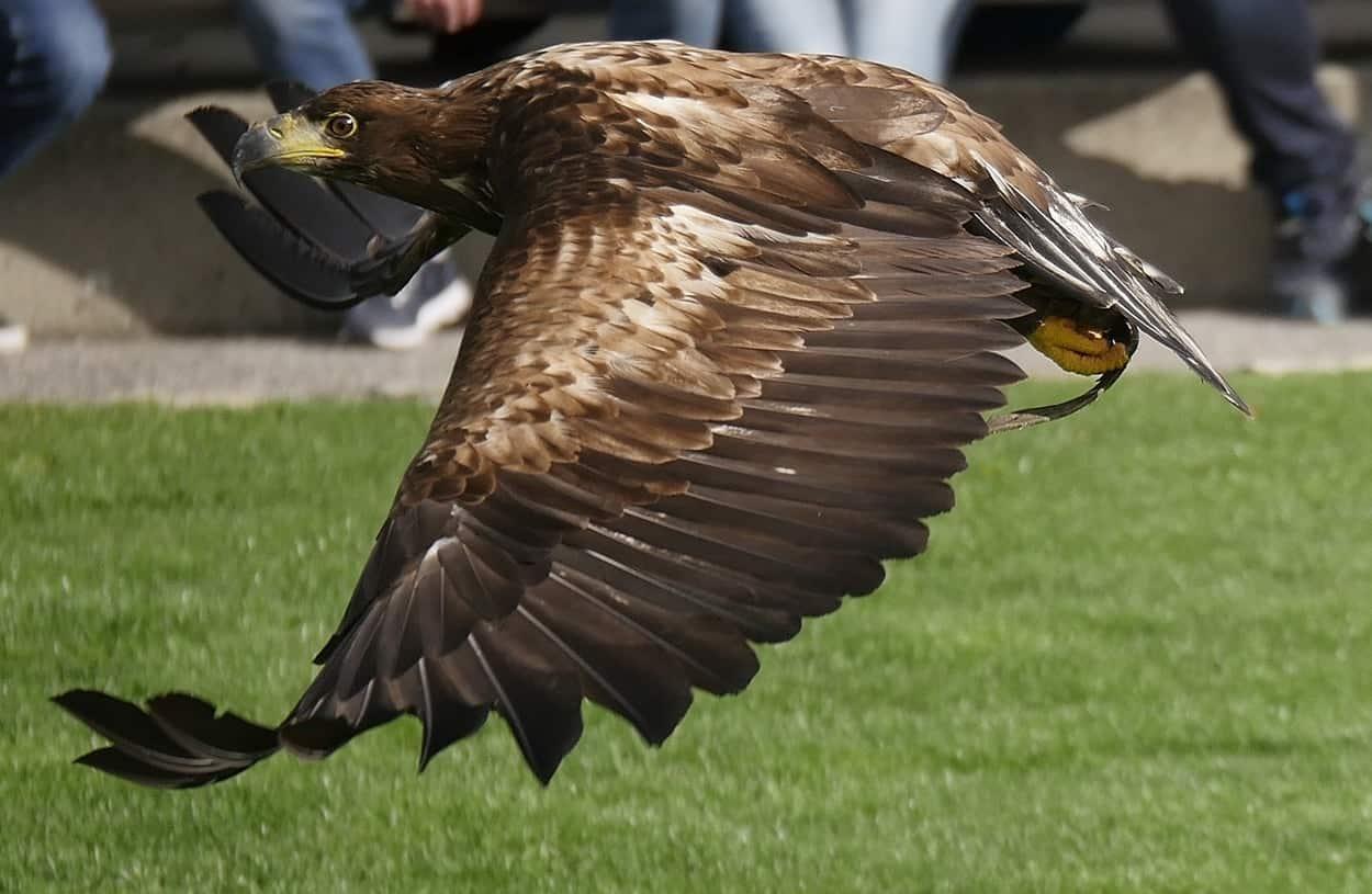 Adler bei Greifvogelschau auf Adlerarena Burg Landskron in Kärnten Urlaubsregion Villach am Ossiacher See