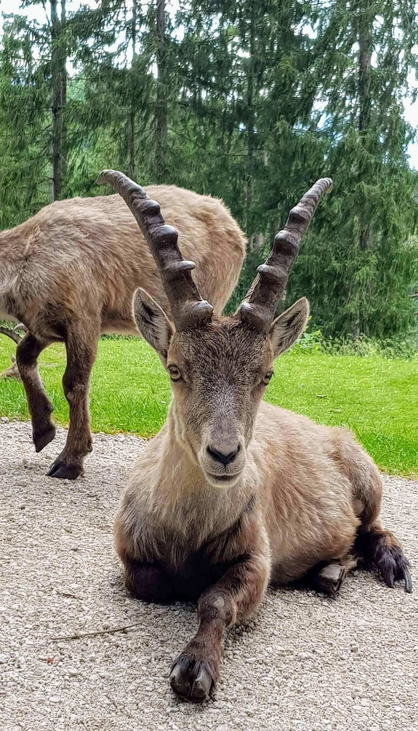 Steinbock im Tierpark Rosegg - geöffnetes Kärntner Ausflugsziel ab März