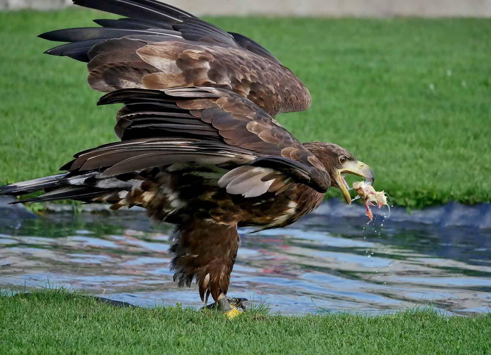 Seeadler Greifvogel bei Flugschau der Adlerarena auf Burg Landskron am Ossiacher See in Kärnten