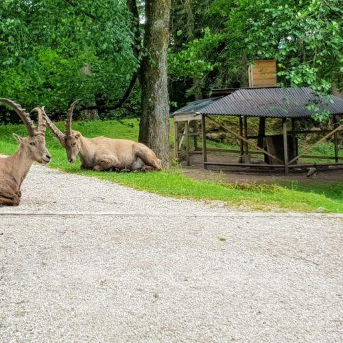 Steinböcke im Tierpark Rosegg, Ausflugsziel & Wildtierpark in Kärnten - Urlaubsregion Rosental-Wörthersee