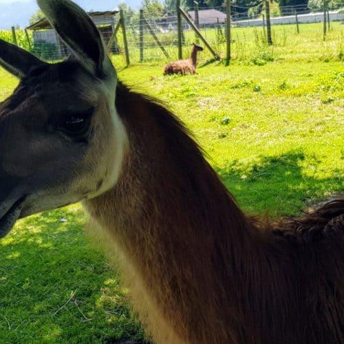 Lama im Streichelzoo Tierpark Rosegg - beliebtes Familienausflugsziel in Kärnten