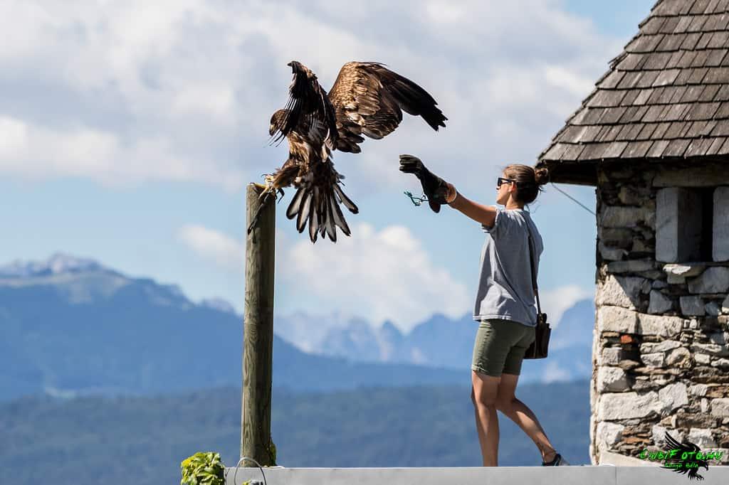 Fantastische Adlerflugshow auf Burg Landskron in der Adlerarena - Familienausflugsziel in Kärnten, Österreich