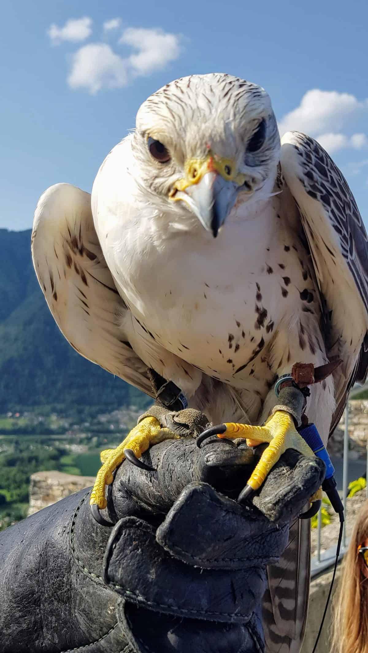 Falke bei Greifvogelschau auf Burg Landskron bei Villach in Kärnten