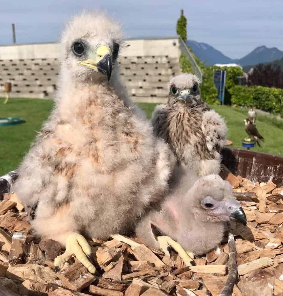 Greifvogel-Babies in der Pflegestation der Adlerarena Burg Landskron - kinderfreundliches Ausflugsziel in Kärnten, Österreich