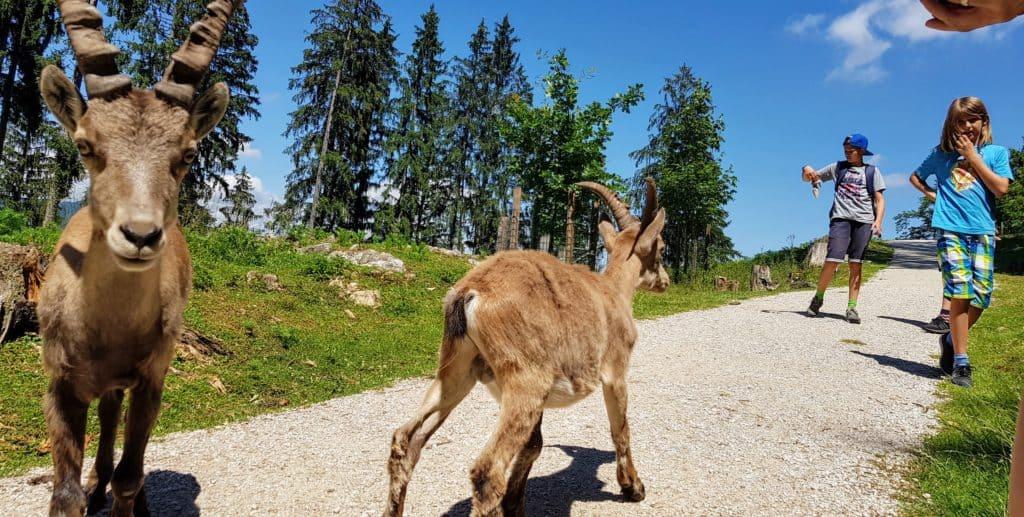Tierpark Kärnten Kinder Ausflüge Rosegg Steinböcke